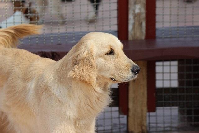 愛犬に大好きを伝えよう!終の棲家みつけたゴールデンレトリーバー