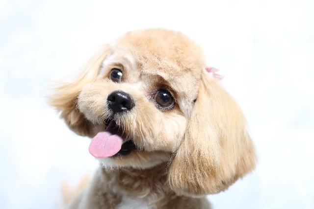 犬の病気インタビュー シーズー子宮蓄膿症