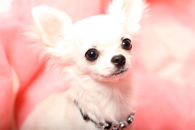 犬の病気インタビュー チワワ膝蓋骨脱臼