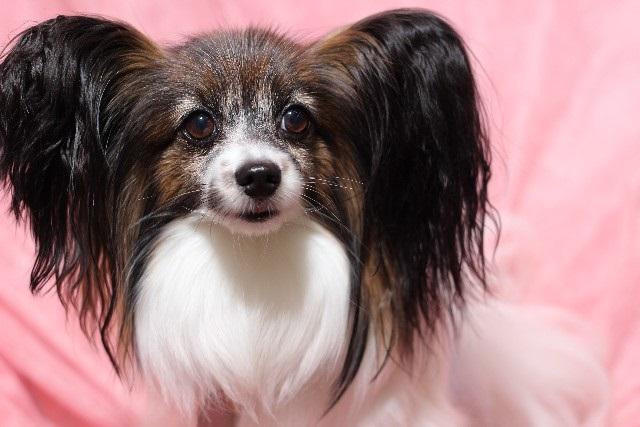 犬の病気インタビュー パピヨン頸椎ヘルニア