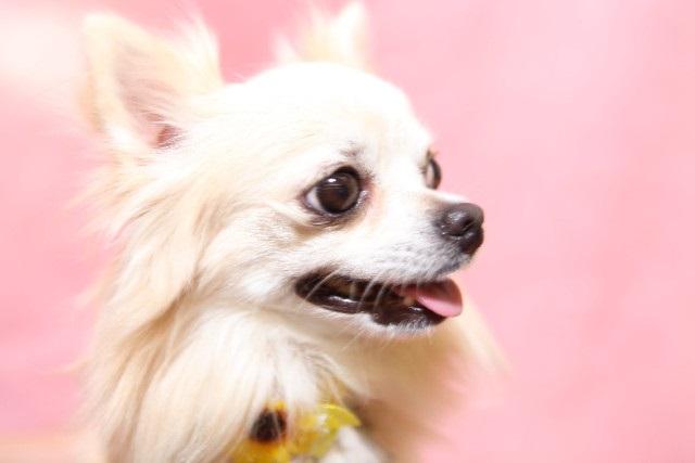犬の病気インタビュー ロングコートチワワ眼球の傷